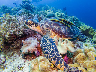 Wall Mural - A Green Sea Turtle resting on a coral reef in Bohol, Philippines