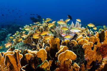 Tropical fish and corals on a beautiful tropical coral reef in Bohol, Philippines