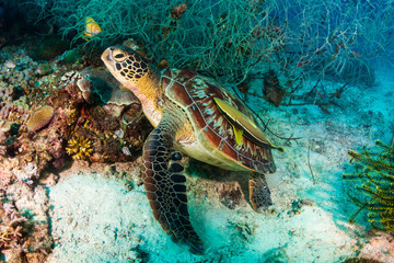 Poster Submarine Green Sea Turtle (Chelonia Mydas) on a tropical coral reef in Bohol