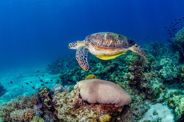 Wall Mural - A Green Sea Turtle (Chelonia Mydas) swimming over a tropical coral reef in the Philippines