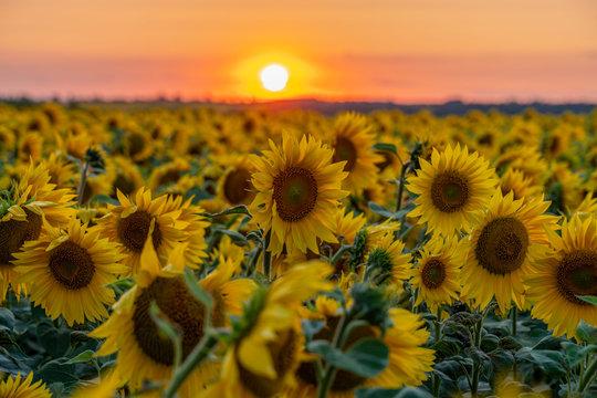 crimson sunset over the field of flowering sunflower