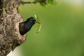 Fototapeta Common starling looking out of a tree hole obraz