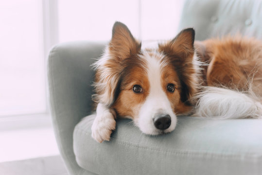 Border collie dog lying on the couch