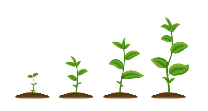 Realistic sprouts. Green plant stages of growth, agricultural plant seedling in ground. Vector illustration sketch young agriculture green been grow from the soil spring