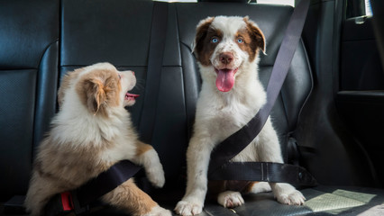 A couple of funny puppies travel in the car, wearing a seat belt. Dogs passengers