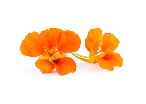 Nasturtium orange flowers. Tropaeolum majus isolated on whit