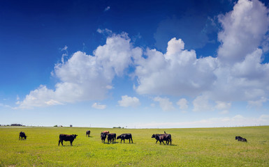 Cows in a pasture, clear blue sky in a sunny spring day, Texas, USA. Wall mural