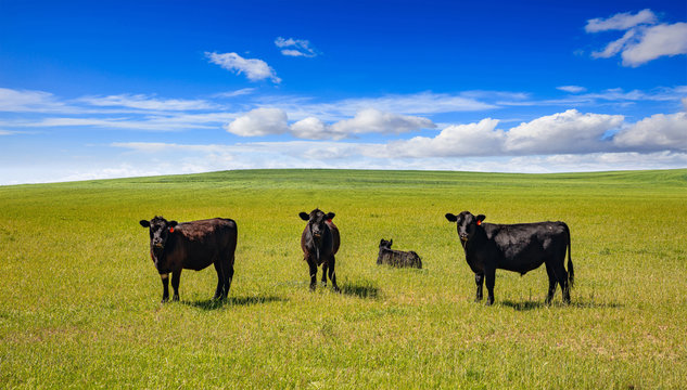 Cows in a pasture, clear blue sky in a sunny spring day, Texas, USA.