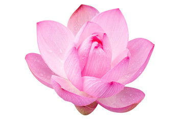 Garden Poster Lotus flower Pink lotus on a white background