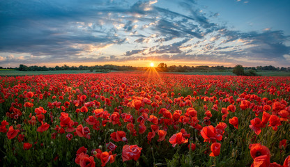 panorama of a field of red poppies against the background of the evening sky.