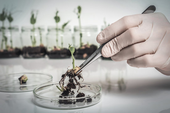 Scientist testing GMO plant in biological laboratory