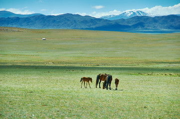 Foto op Aluminium Olijf Mare with a cute foal on the pasture, Mongolian landscape