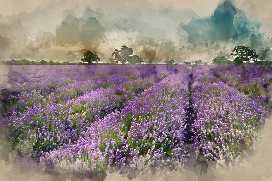 Digital watercolor painting of Beautiful dramatic misty sunrise landscape over lavender field in English countryside