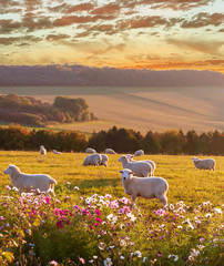 Tuinposter Schapen sheep grazing at sunset, beautiful countryside