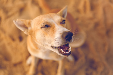 Portrait of a happy dog at sunrise/dawn at Marina beach Chennai, Tamilnadu, India. Innocent looking animal, domestic animals, man's best friend, beach , sun, sand, morning, puppy eyes, love,compassion