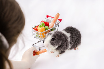 A girl feeds her pet. Guinea pig with vegetables and the shopping trolley on white fabric