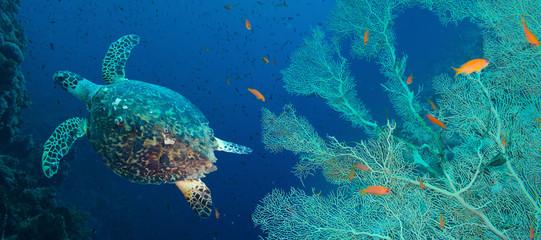 Photo sur Aluminium Recifs coralliens Hawksbill sea turtle (Eretmochelys imbricata)