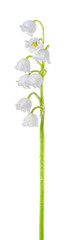 Poster de jardin Muguet de mai Lily of the valley (Convallaria majalis) stem covered with dew, blooming spring flower, closeup, isolated on white background