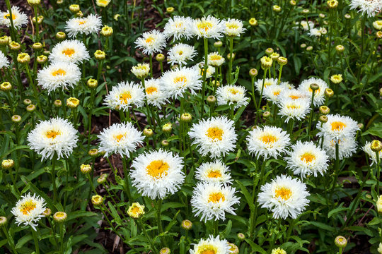 Leucanthemum x superbum 'Becky' a spring summer flowering plant commonly known as Shasta daisy