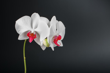 Tropical white Orchid on a black background. Free space, Copy-Space