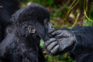 Gorilla mother and son