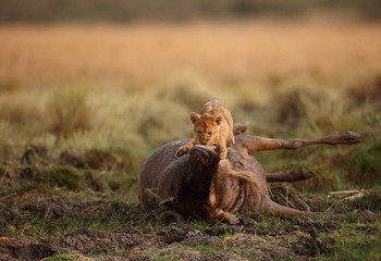 The lion cub on top of wildebeest kill in the evening hours, Msai Mara, kenya Wall mural