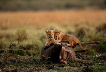 Lion cubs playing on the top of Wildebeest carcass, Masai Mara, Kenya  Wall mural