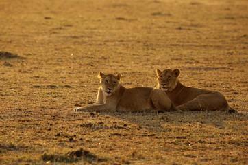 A pair of lion in the morning light at Masai Mara, Kenya Wall mural