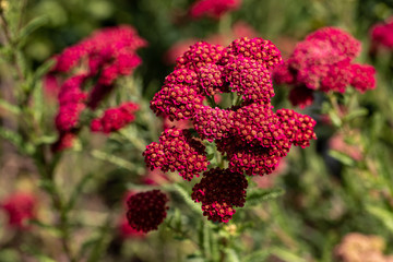 View of dark red spiraea japonica flowers in the summer garden