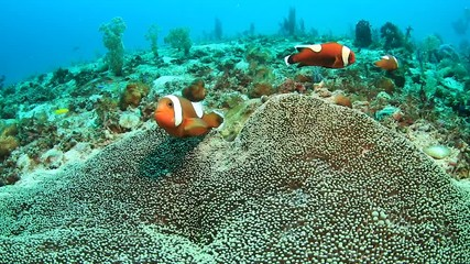 Wall Mural - A family of red Saddleback Clownfish in their host anemone on a tropical coral reef in the Philippines