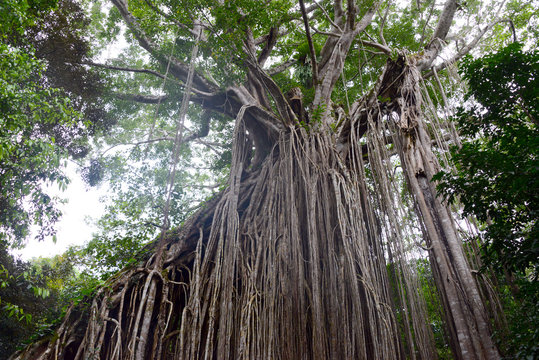 cathedral fig tree near yungaburra in Queenslandn
