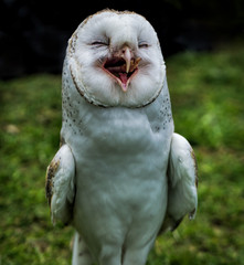 Photo sur Plexiglas Chouette A Australian barn owl standing up and open beak appears to be laughing