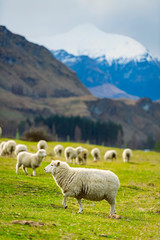Fond de hotte en verre imprimé Sheep Sheep in the pasture at a farm in Wanaka, New Zealand