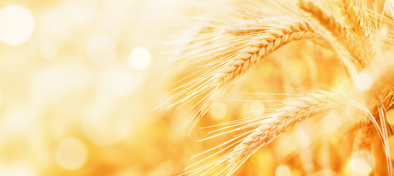 Beautiful wheat field in the sunset light. Golden ears during harvest, macro, banner format. Autumn agriculture landscape.