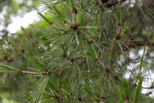 雨上がりの松の葉