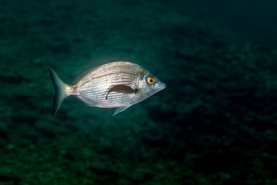 The sargo or white seabream, Diplodus sargus is a species of seabream