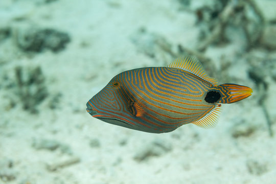 Orange-Lined Triggerfish, Orangestriped Triggerfish, Balistoides undulatus