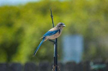 Western blue jay on perch. A passerine bird in the family Corvidae, native to North America. Western populations may be migratory. BlueJays mainly feed on nuts, seeds, soft fruits, arthropods