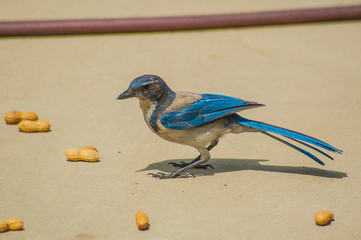 Western blue jay. A passerine bird in the family Corvidae, native to North America. Western populations may be migratory. BlueJays mainly feed on nuts, seeds, soft fruits, arthropods