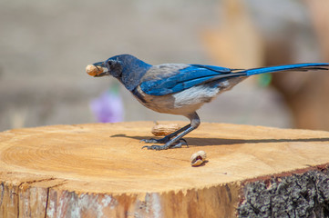 BlueJay with peanut on Tree Stump- Western blue jay on tree stump. A passerine bird in the family Corvidae, native to North America. Western populations may be migratory. BlueJays mainly feed on nuts,