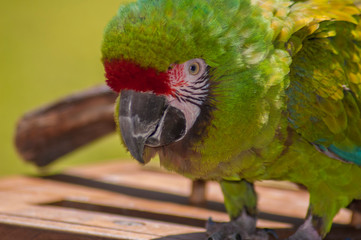 The great green macaw, also known as Buffon's macaw or the great military macaw, is a Central and South American parrot