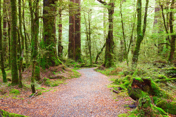 Photo Stands Road in forest Pathway through rainforest , Fiordland National Park, South Island, New Zealand