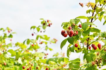 Red sweet berries growing on raspberry bush in fruit garden. - Image