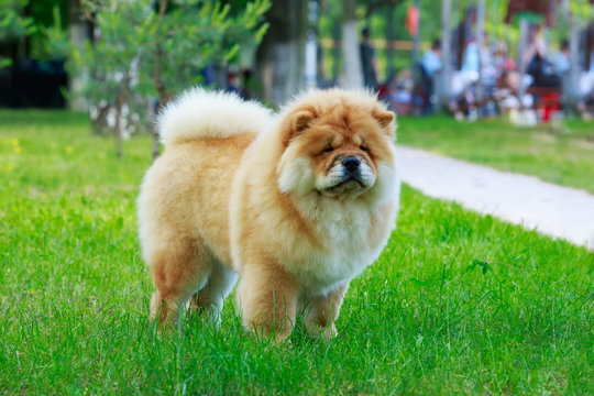 The dog breed chow chow