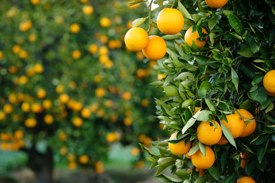 Valencia oranges hanging from tree with more laden trees in blurred orchard background.