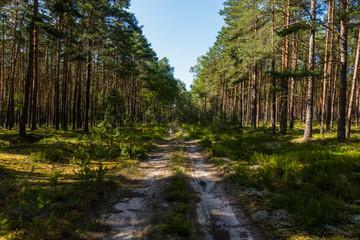 Las sosnowy sosna sosny droga w lesie bory lato drzewa