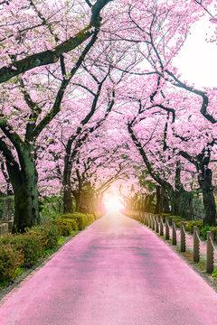 Lighting at the destination Walking path under the beautiful sakura tree or cherry tree tunnel in Tokyo, Japan