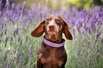 Closeup portrait of a dreaming dachshund at the lavender garden