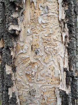 Close up of the damage to the bark of Ash trees (Fraxinus) when the Emerald Ash Borer invasive species takes hold.