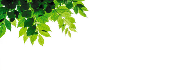 Wall Mural - Green leaves isolated on white background with copy space